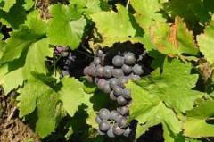 """Vinegar grape TM """"Unikon"""