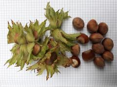 Filbert saplings grade Morozivsky