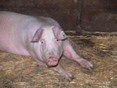 "Pigs ""White large"","