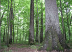 Лес круглый (кругляк)