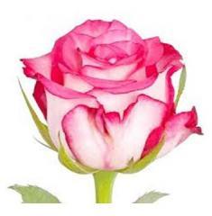 Розы Enjoy