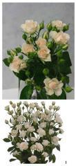 Роза спрей Cream Gracia