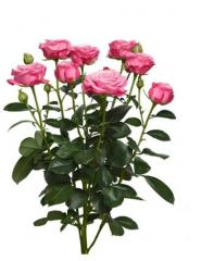 Роза-спрей Lady Bombastic