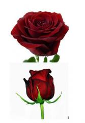Роза Red Naomi