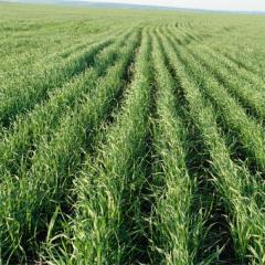 Гербіцид Фактор, Китай, 20 л/кукурудза, зернові