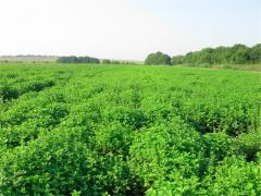 Melissa medicinal grass