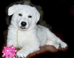 White (German) Swiss Sheep-dog / American-Canadian