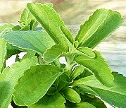 The stevia to Wholesale (sale), the Price