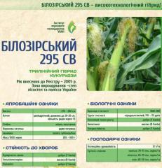 Corn seeds Bilozirsky