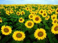 Sunflower seeds Yason Forvard Oskil from PBF the