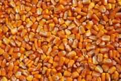 Seeds of corn of Orzhits