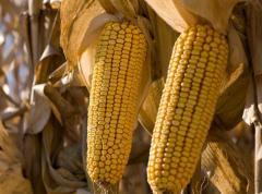 Seeds of corn of Monsan