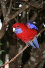 Попугай розелла красная