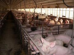 Фермы для свиневодства