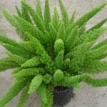Комнатное растение Аспарагус Майера (Asparagus
