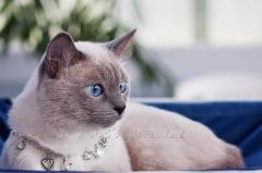 Thai kittens, elite of breed.
