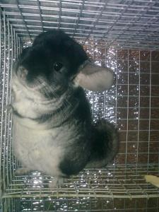 Young growth of chinchillas