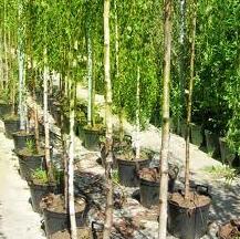 Саженцы садовых деревьев (яблони, груши, черешни)