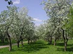 Saplings of garden trees (apple-tree, pear, sweet