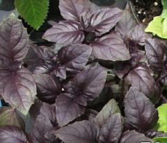Basil of Purple, 5 grams