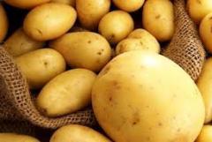 Картофель оптом (Латона, Ред Леди, Сильвано,