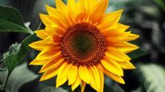 Sunflower seeds Yanish F1