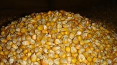 Семена кукурузы Хмельницький F1 Одесса