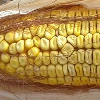 Семена кукурузы Оржиця 237МВ F-1 Украина
