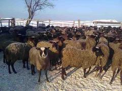 Овцы романовские чистопородные