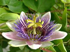 The passionflower, strasnotsvt. Cavalry rose