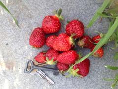 Продам ягоду раннего сорта клубники Хоней и