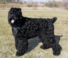 Продаются щенки породы Русский черный терьер.
