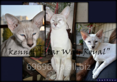 Siamo-oriyentalnye kittens