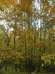 Saplings of a red oak, oak