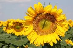 Sunflower seeds hybrid Ukrainian sun (Ukra§nske