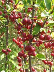Nedzvetsky's apple-tree (paradise)
