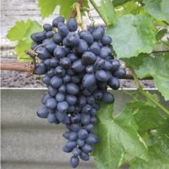 Виноград Надежда АЗОС, зимостойкий