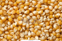 Corn seeds Dnieper 181CB,  Orzhitsya 237MB, ...