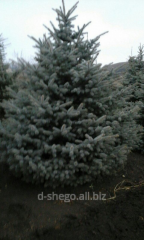 Prickly blue Glauka Kiev to buy fir-tree to