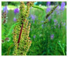 Sorrel seeds