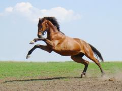 Breeding horses for reproduction