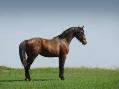 Sports horses from the best producers of Europe