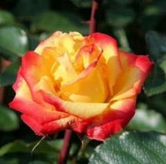Роза полиантовая Rumba -Румба, контейнер 390-032-1