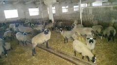 Племенные ярочки и овцематки романовской породы