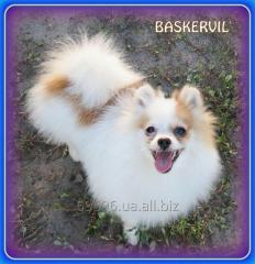 Померанский шпиц - щенок редкого окраса, h-21cm./1900kg.