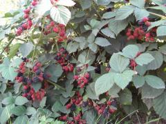 Besshipny blackberry