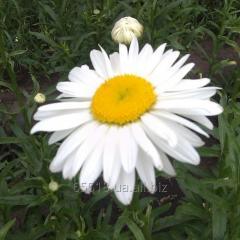 Саджанці ромашки крупноцветой білої.(Ромен)