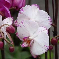 Орхідея фаленопсис Phalaenopsis різні кольори 20
