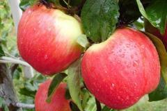 Плодово-ягодные деревья и кусты