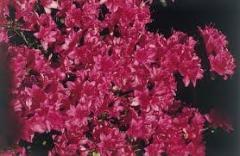 Azalea a rhododendron Rubinstern (Rhododendron